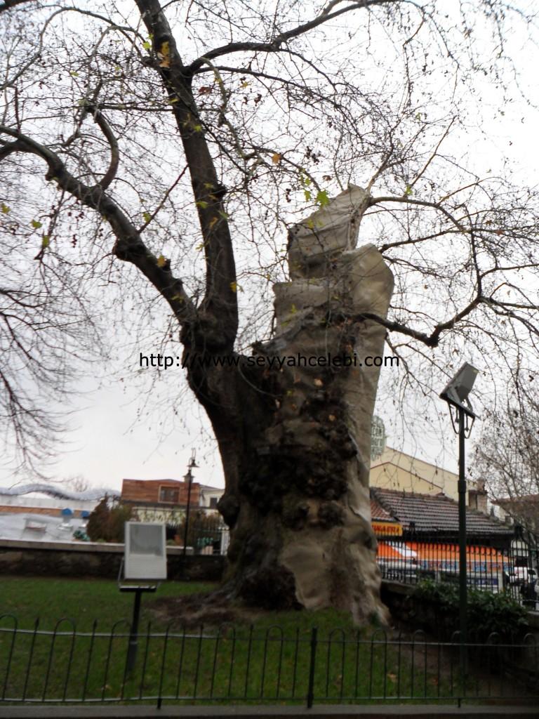 Tarihi Çınar Ağacı
