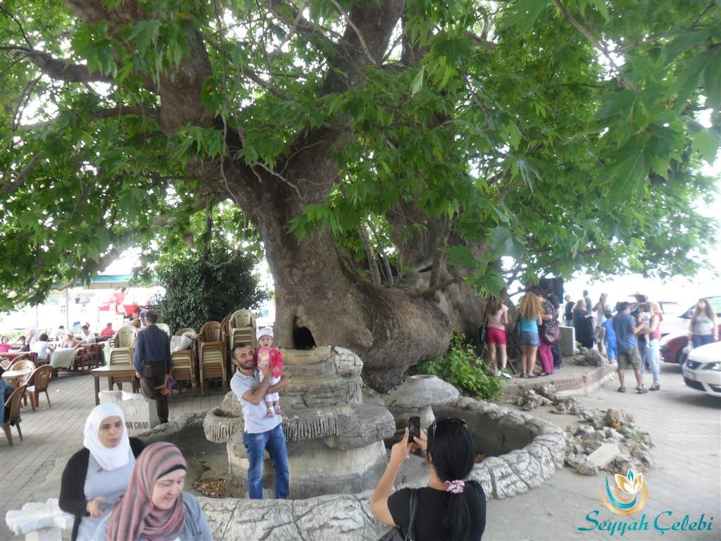 Gölyazı Tarihi Çınar Ağacı