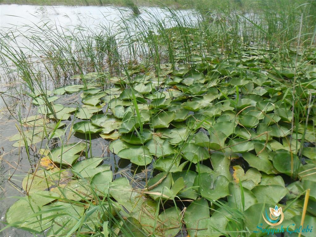 Gölyazı Uluabat Gölü Nilüfer Çiçekleri