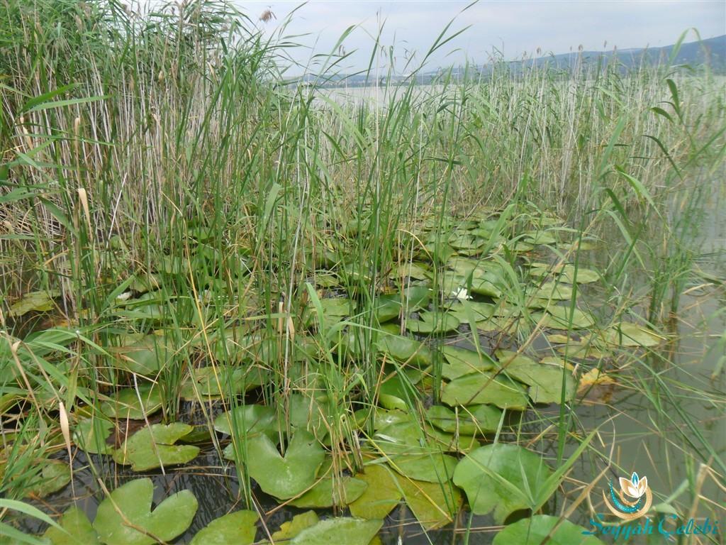 Gölyazı Açmış Nilüfer Çiçeği