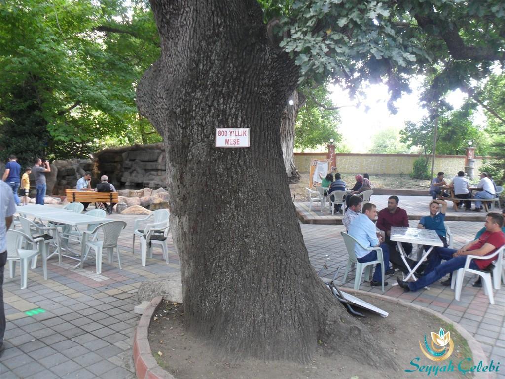 Sarıkız Ilıcaksu 800 Yıllık Meşe Ağacı